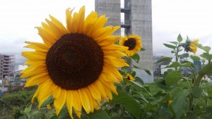 2015-Sunflower at Sørenga-Oslo